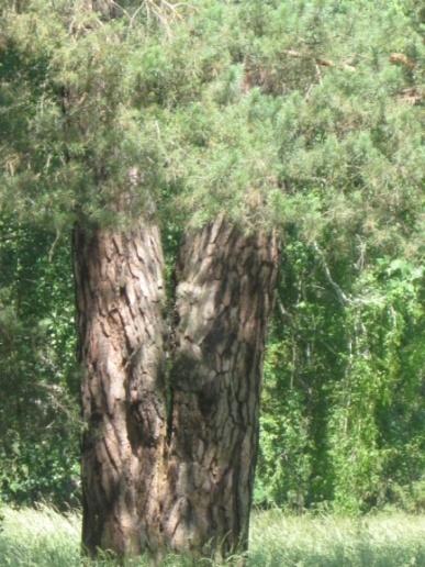 Висота дерева 25 м, окружність стовбура 426 см.