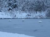Лебеді на ставку ДП_Олександрія